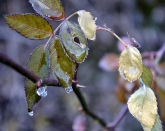 ice on a rose plant