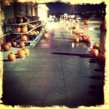 lots of pumpkins
