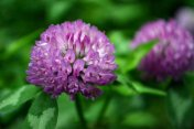 purple clover