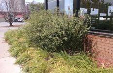 what our bushes are supposed to look like and will hopefully look like one day