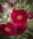 I love these roses