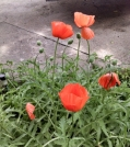 The poppies are orange! Yay!