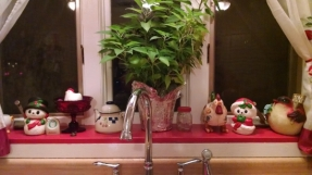last year's poinsettia