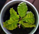 sapling (that is long dead)