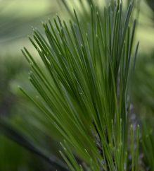 close up of a pine tree