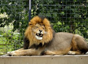 roar (okay he was yawning)