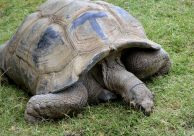 The giant tortoise. I love him.