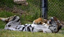 tiger tummy