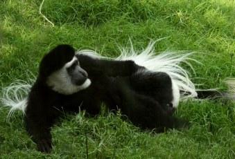chillaxin' monkey