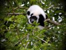 stalking lemur